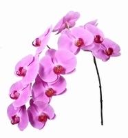 2 Phalaenopsis tiges avec 12 fleurons