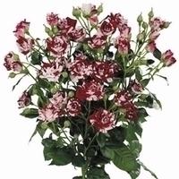 10 bicolor Trosrozen lengte 60 cm