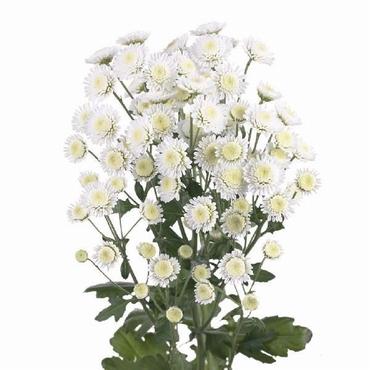 5 Chrysanthemum small flowers