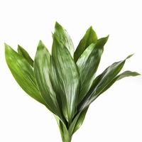5 Aspedistra leaves