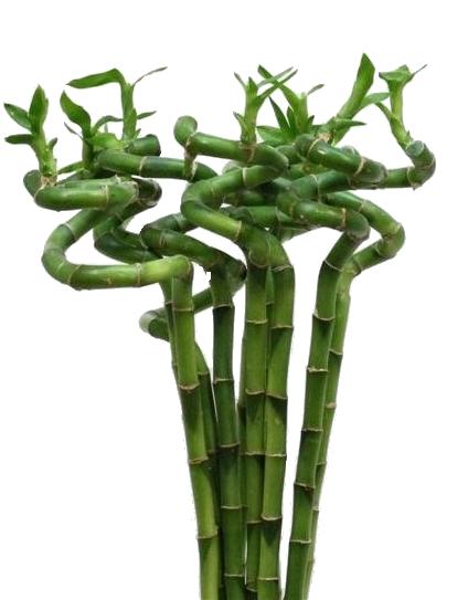 Lucky Bamboe spiraal stengels extra lang