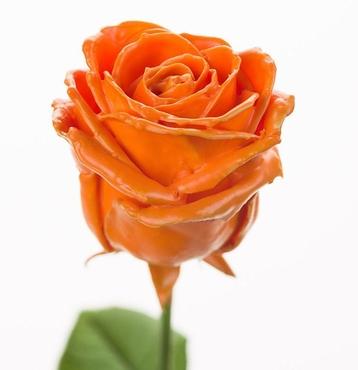 Roses à longue tiges à gros boutons ciré orange