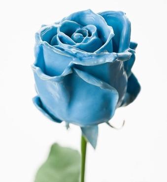 Roses à longue tiges à gros boutons ciré bleu clair