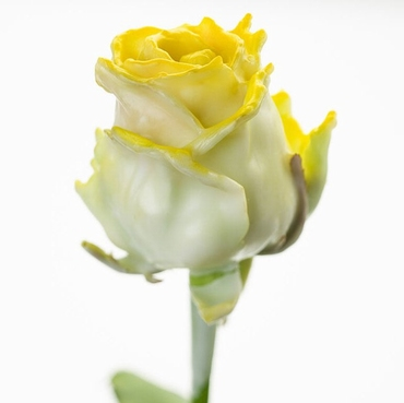 Bouquet of long white waxed Roses big flowers blush yellow