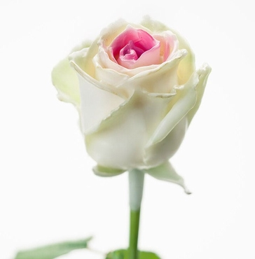 Bouquet of long white waxed Roses with a pink core