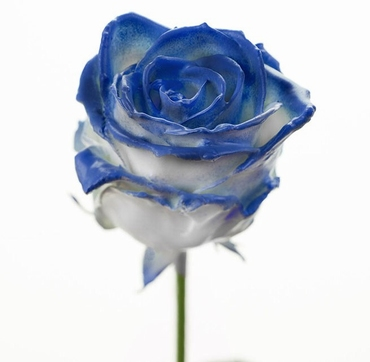 Bouquet of long white waxed Roses big flowers blush blue