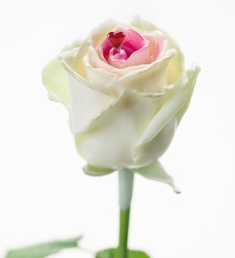 Bouquet of long white waxed Roses with pink core and heart
