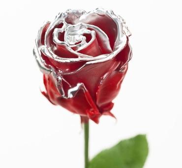 Roses longue tiges à gros boutons ciré rouge teint argenté