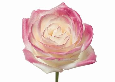 Roses à longue tiges à gros boutons blanc et teint rose