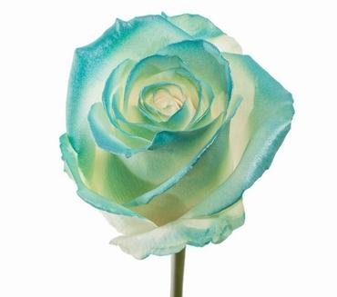 Boeket van witte grootbloemige Rozen met licht blauwe blos