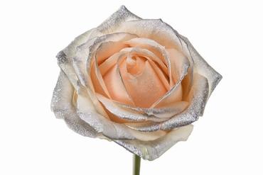Roses à longue tiges à gros boutons peach et teint argentée