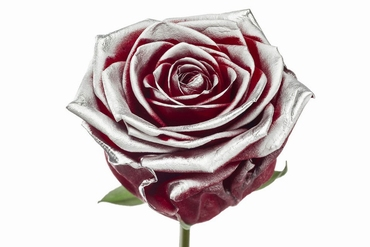 Roses à longue tiges à gros boutons rouge et teint argentée