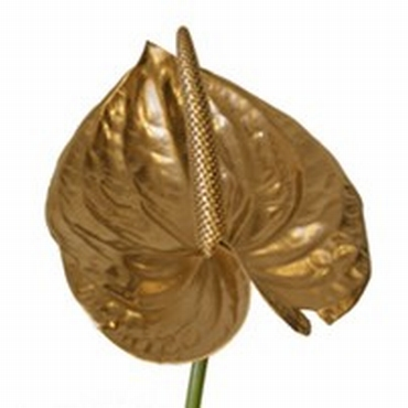 5 gold-colored Anthurium