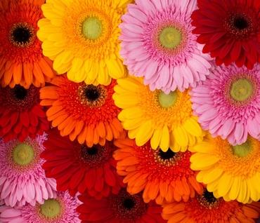 Gerbera color mixes