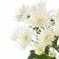 5 Chrysanthemums spider