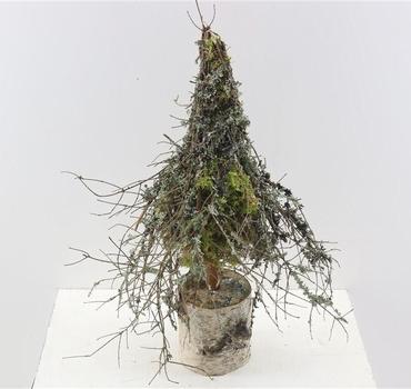 Gedroogde boom Larix moss naturel