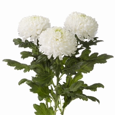 10 Chrysanthemums disbudded decorative various colors