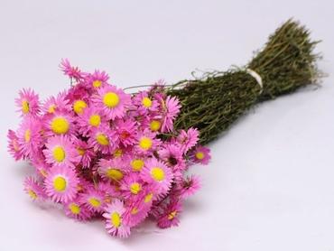 Gedroogde Acroclinium roze