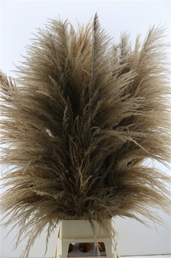 Pampasgras pluimen gedroogd lang gevulde bruine pluimen XL