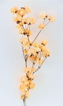 Bougainvillea gebleekt apricot kleurig