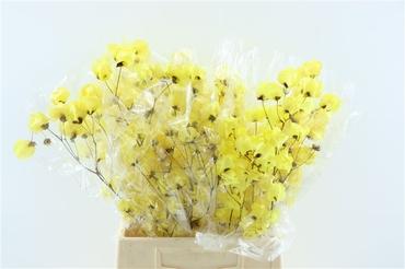 Bougainvillea blanchi séché jaune