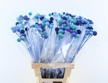 20 Craspedias Blue Lagoon mix