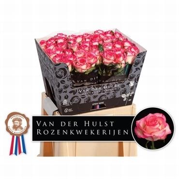 Bicolor wit donker roze Rozen van lange grootbloemige Rozen