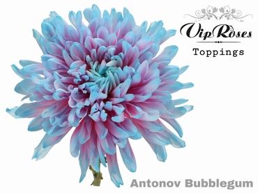 10 Chrysanthemums Antonov disbudded Bubblegum