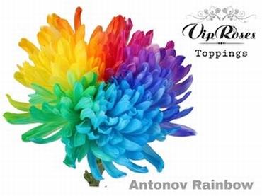 10 Chrysanthèmes Antonov solifleur teinté Rainbow