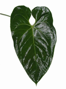 5 Anthurium feuillages vert