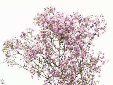 25 Gypsophila roze