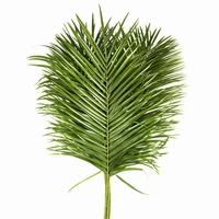 10 Phoenix Roebellini leaves