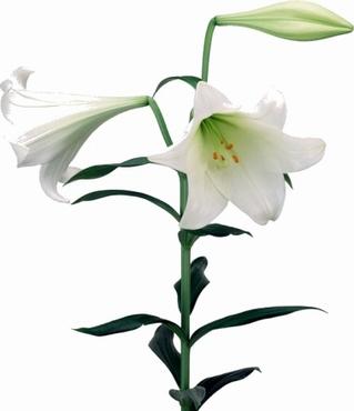 10 Lelies Longiflorum wit 3 bloemen