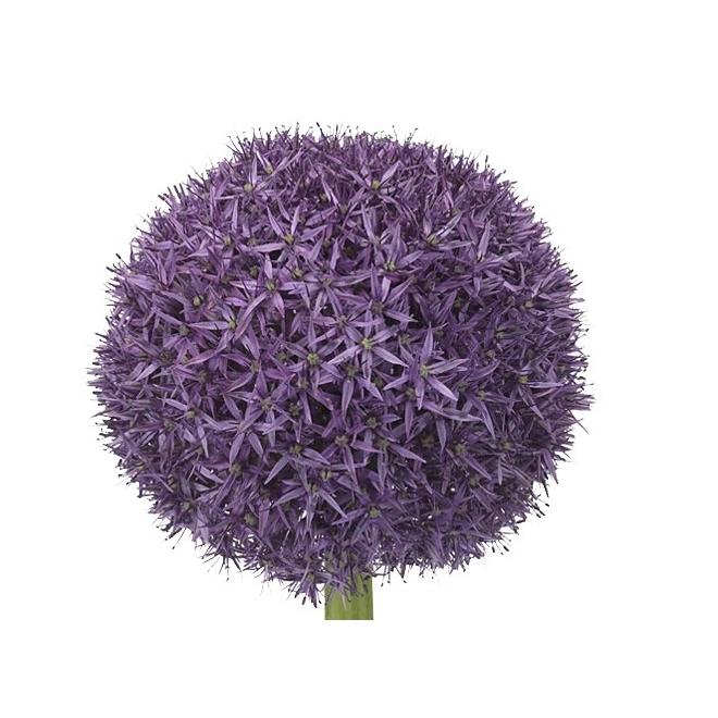 10 Allium