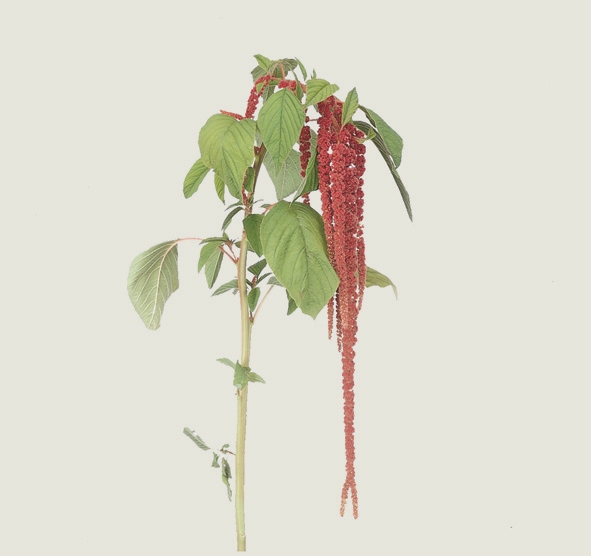 10 Amaranthus hangend