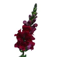 10 Muflier (Antirrhinum) plusieurs couleurs