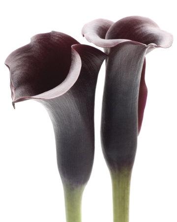 10 Calla (Zantedeschia) in diverse kleuren