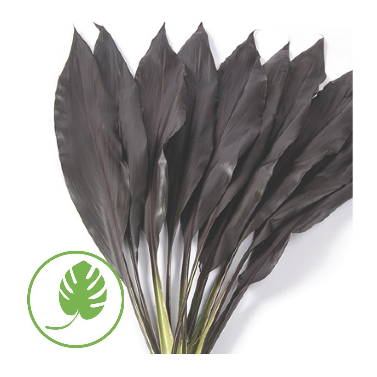 10 Cordyline blad Black Tie