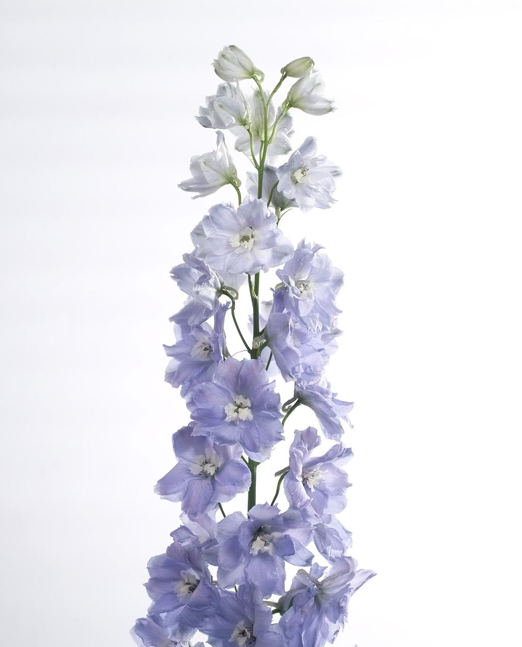 10 Delphinium dubble flowers