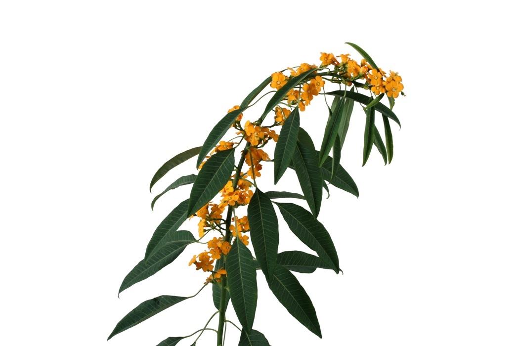 10 Euphorbia in diverse kleuren