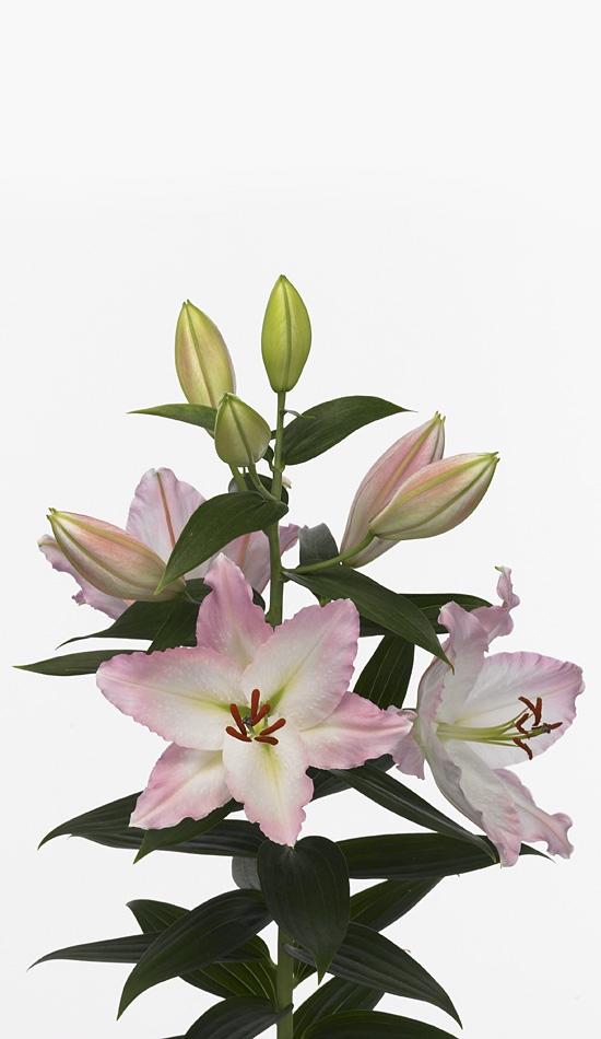 10 Lilies Oriental