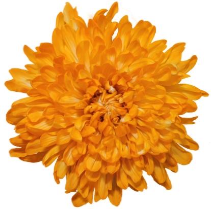 10 Chrysanthemums Antonov disbudded painted