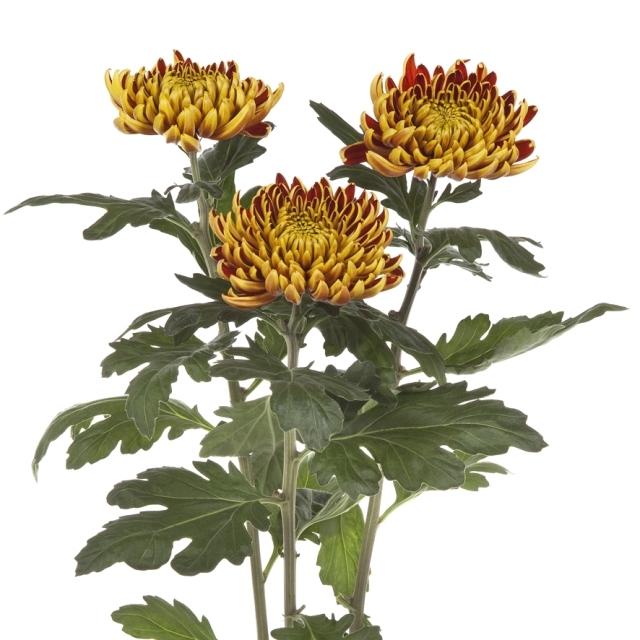10 Chrysanthemums disbudded autumn