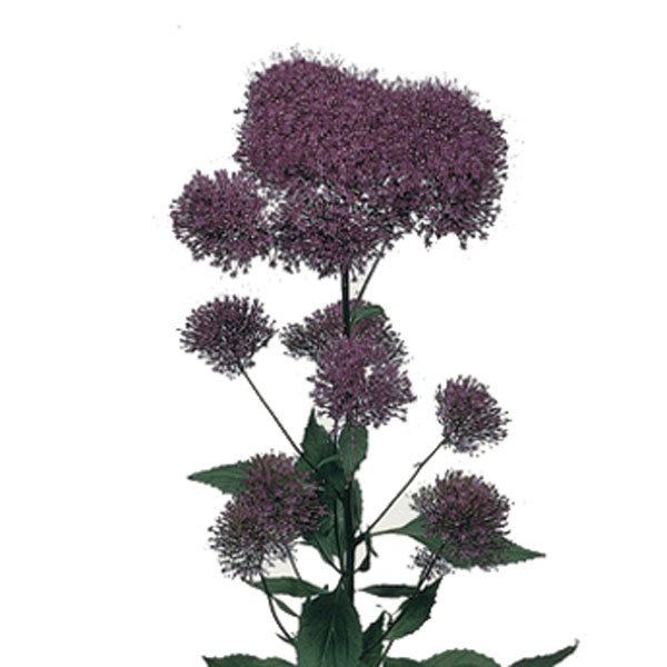 10 Trachelium purple