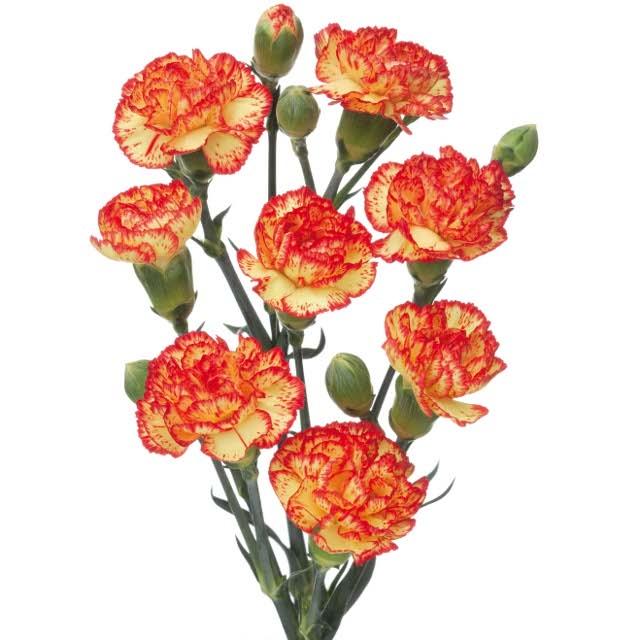 10 Trosanjers bicolor in diverse kleuren.