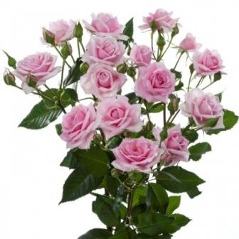 Bouquet de Roses polyantha en plusieur couleurs 50 cm