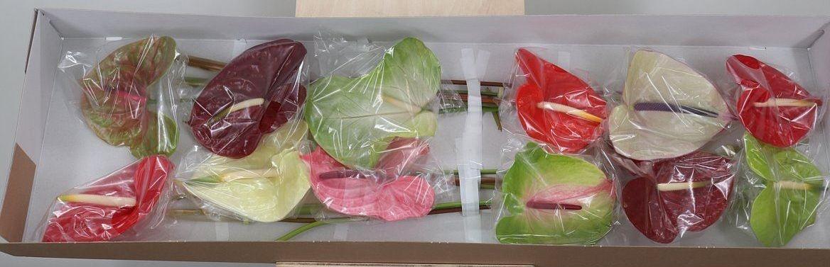 16 Anthuriums plusieurs couleurs d'un diamètre de 11 cm