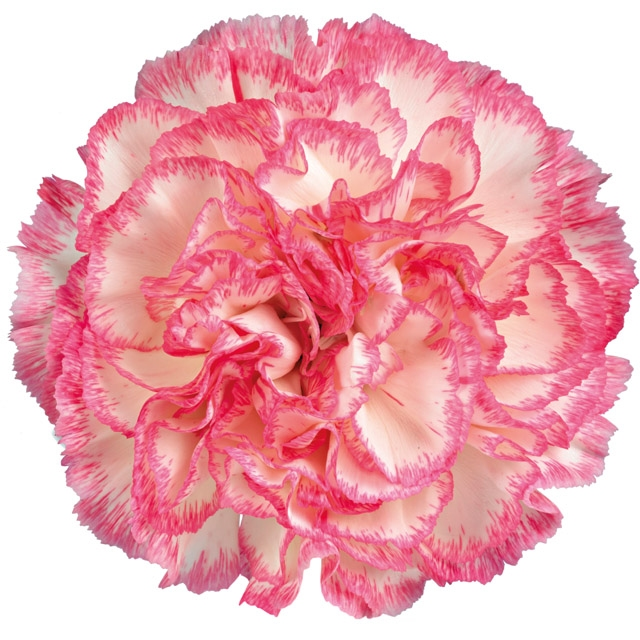 20 Carnations bicolor various colors