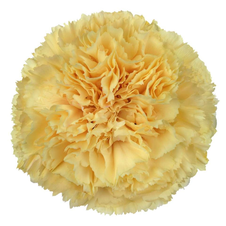 20 Carnations various colors