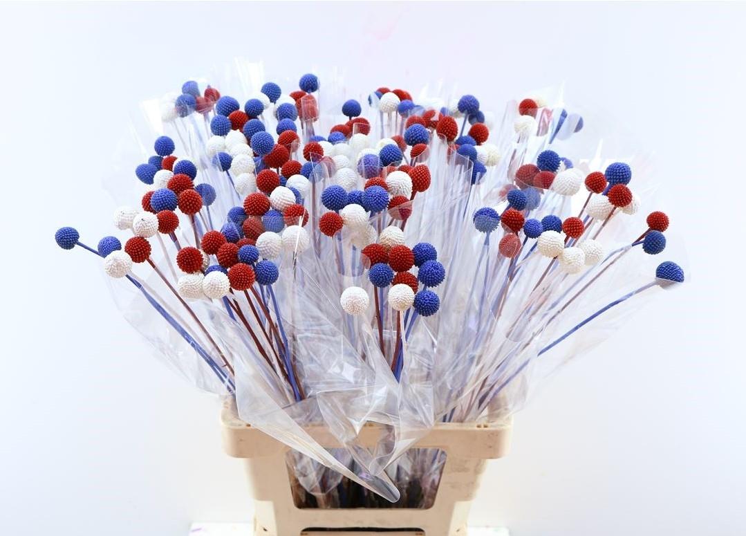 20 Craspedia bolletjes rood wit blauw mix